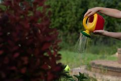 Child watering a shrub from a red-yellow watering can. The photo shows the hands of a child, no face. Kid helps mom in royalty free stock images