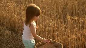 Child with wheat in hand. Baby holds the grain on the palm. Little son, the farmer's daughter, is playing in the field stock video