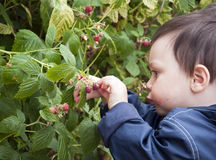 Free Child With Raspberries Royalty Free Stock Images - 16581839