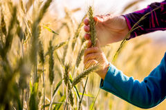 Child and woman holding a ripening ear of wheat. Growing in an agricultural field in a conceptual image, close up view of their arms and hands Stock Photo