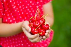 Child& x27;s hands full of cherries. Stock Photo