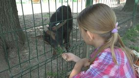Child in Zoo Park, Girl Feeding Goats, Kids Love Nursing Animals, Pets Care royalty free stock images