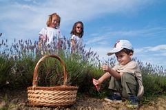 Childer picking lavender. In the field Royalty Free Stock Photos