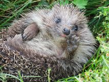 Childhood of a hedgehog. The young hedgehog lies on a green grass Stock Photo