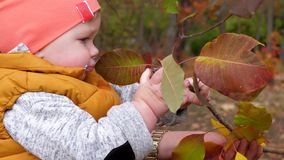 Childhood, kid drool and holds branch tree with yellow leaves close-up in autumn park near mothers hands. Childhood, kid drool and holds branch tree with yellow stock footage