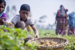Children's moissonnent des pommes de terre des champs dans Thakurgong, Bangladesh Images libres de droits