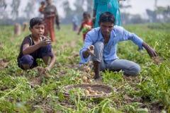 Children's moissonnent des pommes de terre des champs dans Thakurgong, Bangladesh Image libre de droits
