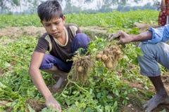 Children's moissonnent des pommes de terre des champs dans Thakurgong, Bangladesh Photo libre de droits