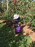 Children Apple picking in Autumn stock photo