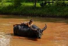 Children and buffalo stock images