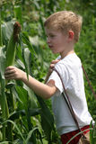 Children In The Corn. A little boy picking corn in a field Royalty Free Stock Images