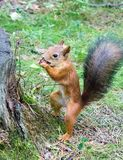 Children are fed nuts with squirrels. Living in a pine forest royalty free stock images