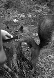 Children are fed nuts with squirrels. Living in a pine forest royalty free stock photo
