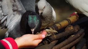 Children feed domestic pigeons. The white-dove pecks the seeds from the child`s hand, but another gray-lilac and greenish pigeon pulls back the white dove, and stock video