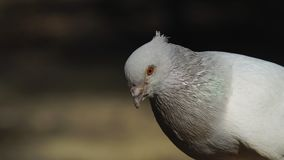 Children feed domestic pigeons. The white-dove pecks the seeds from the child`s hand, but another gray-lilac and greenish pigeon p. Ulls back the white dove, and stock video footage