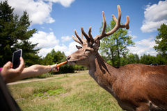Children are feeding the deer Royalty Free Stock Images