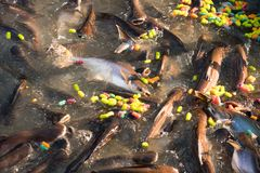 Children feeding food for fish in Buddhist Sabbath at temple. in this day, the most buddhist go to temple and merit. Such as feeding food for fish, that`s royalty free stock photography