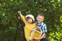 Cheerful children gather berries in a basket in the orchard. Children in the garden harvest fruit royalty free stock images