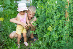 Children gather and eat the peas. The children gather and eat the peas in the garden stock photography
