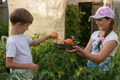 Children gather vegetables harvest. A boy and a girl are working. Children harvest vegetables in a family garden.A boy and a girl in the garden are harvesting a Royalty Free Stock Photos