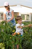 Children gather vegetables harvest. A boy and a girl are working. Children harvest vegetables in a family garden.A boy and a girl in the garden are harvesting a royalty free stock image