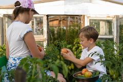 Children gather vegetables harvest. A boy and a girl are working. Children harvest vegetables in a family garden.A boy and a girl in the garden are harvesting a stock image