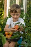 Children gather vegetables harvest. The boy works in the garden. Children harvest vegetables in a family garden.A boy in a garden gathers a tomato harvest on a Royalty Free Stock Images