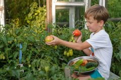 Children gather vegetables harvest. The boy works in the garden. Children harvest vegetables in a family garden.A boy in a garden gathers a tomato harvest on a stock image