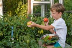 Children gather vegetables harvest. The boy works in the garden. Children harvest vegetables in a family garden.A boy in a garden gathers a tomato harvest on a Stock Image