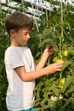 Children gather vegetables harvest. The boy works in a greenhous. Children harvest vegetables in a family garden.A boy in a greenhouse collects a tomato harvest Stock Images