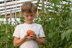 Children gather vegetables harvest. The boy works in a greenhous. Children harvest vegetables in a family garden.A boy in a greenhouse collects a tomato harvest Stock Photo