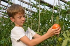 Children gather vegetables harvest. The boy works in a greenhous. Children harvest vegetables in a family garden.A boy in a greenhouse collects a tomato harvest Royalty Free Stock Photography