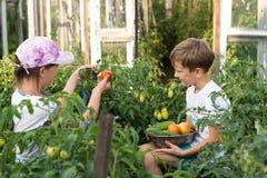 Children gather vegetables harvest. Children harvest vegetables in a family garden Stock Photography