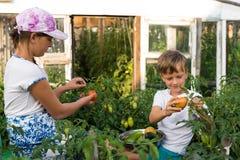 Children gather vegetables harvest. Children harvest vegetables in a family garden Royalty Free Stock Photography
