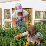 Children gather vegetables harvest. Children harvest vegetables in a family garden Royalty Free Stock Image