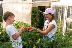 Children gather vegetables harvest. Children harvest vegetables in a family garden Stock Image