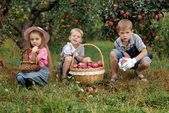 Children girl boy brother sister together apple garden big basket help apron gloves work gather. Two brothers and a sister harvest ripe red apples in the garden stock photo