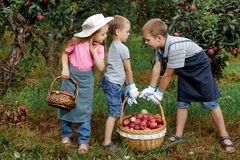 Children girl boy brother sister together apple garden big basket help apron gloves work gather. Two brothers and a sister harvest ripe red apples in the garden royalty free stock photos