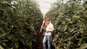Children go through a greenhouse, rip tomatoes, eat and laugh. Two boys and one girl stock video