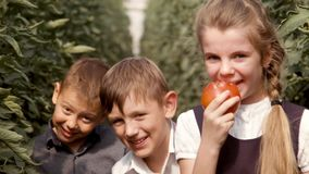 Children go through a greenhouse, rip tomatoes, eat and laugh. Two boys and one girl stock video footage