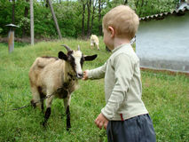 Children and the goat. Boy feeding a goat on the lawn Royalty Free Stock Photography