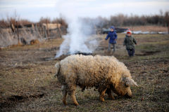 Children graze and play with a large boar and a small suckling pig. Hungarian mangalitsa on a rural farmstead in early spring royalty free stock photography