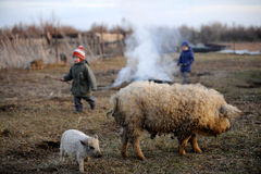Children graze and play with a large boar and a small suckling. Pig Hungarian mangalitsa on a rural farmstead in early spring royalty free stock image
