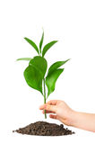 Children hand putting a plant in ground Stock Photography
