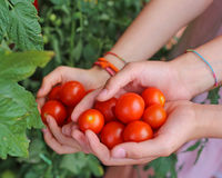 children with hands full of fresh tomatoes just harvested from t Stock Photo