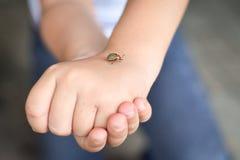 Children hands holding a potato beetle. Children hands holding a colorado potato beetle stock image