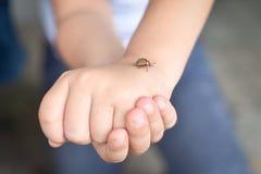 Children hands holding a potato beetle. Children hands holding a colorado potato beetle stock photo