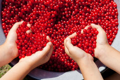 Children hands, holding red currant in the shape of heart Royalty Free Stock Photo