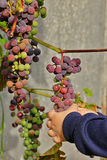 Children hands tear ripe bunches of grapes Royalty Free Stock Images