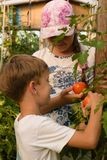 Children gather vegetables harvest. A boy and a girl are working. Children harvest vegetables in a family garden. A boy and a girl in a greenhouse harvest a Royalty Free Stock Photos